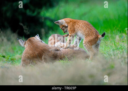 Eurasian lynx (Lynx lynx), female with playing young animals, Germany - Stock Photo