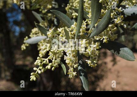 olive tree (Olea europaea ssp. sativa), blooming olive tree branch, Spain, Katalonia - Stock Photo