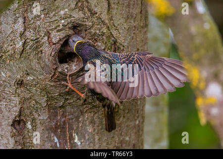 common starling (Sturnus vulgaris), feeding its young bird in a nesting hole, Germany, Bavaria, Niederbayern, Lower Bavaria