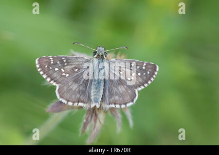 dusky grizzled skipper (Pyrgus cacaliae), sitting on a plant, Germany - Stock Photo