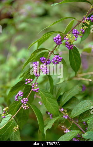 purple beautyberry (Callicarpa dichotoma), branch with fruits - Stock Photo