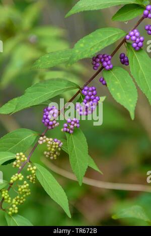 purple beautyberry (Callicarpa dichotoma), branch with fruits - Stock Photo
