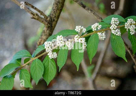 purple beautyberry (Callicarpa dichotoma f. albifructa), branch with white fruits - Stock Photo