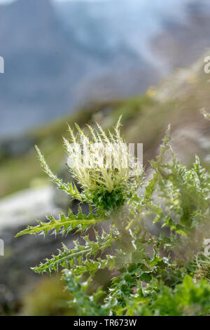 Alpenkratzdistel, Alpen-Kratzdistel (Cirsium spinosissimum), bluehend, Oesterreich, Hohe Tauern Nationalpark | yellow thistle (Cirsium spinosissimum), - Stock Photo