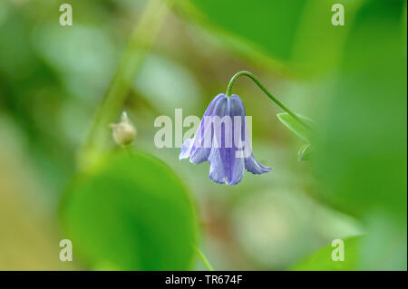 Italienische Waldrebe (Clematis viticella), Bluete | purple clematis, Italian virgin's-bower (Clematis viticella), flower, Germany, Saxony | BLWS47552 - Stock Photo