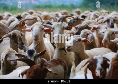 domestic goat (Capra hircus, Capra aegagrus f. hircus), goats and sheep in a herd, Germany - Stock Photo