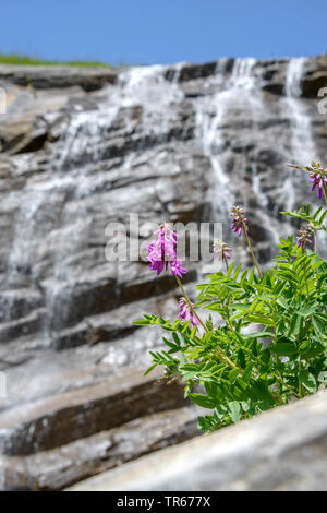 Alpine French Honeysuckle (Hedysarum hedysaroides), blooming on a rock wall, Austria, Hohe Tauern National Park, Zell Am See - Stock Photo