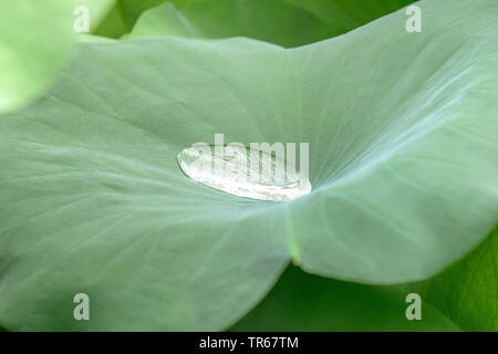 East Indian lotus (Nelumbo nucifera), leav with water drop, lotos effect, Germany, Bavaria - Stock Photo