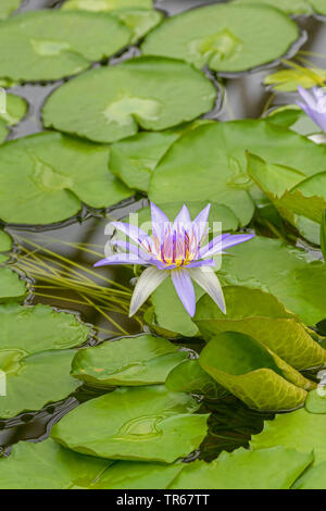 Tropical waterlily, Blue Pigmy (Nymphaea colorata), blooming - Stock Photo