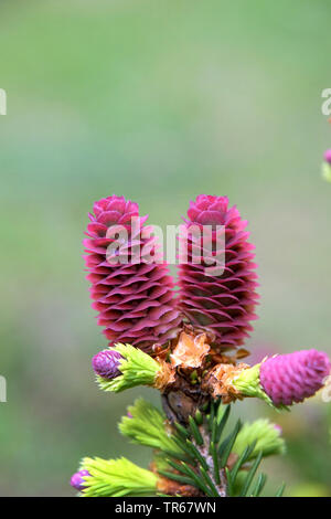 Norway spruce (Picea abies 'Pusch', Picea abies Pusch), blooming cones of cultivar Pusch - Stock Photo