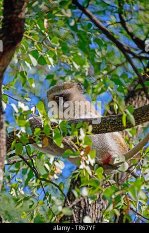 Grivet monkey, Savanna monkey, Green monkey, Vervet monkey (Cercopithecus aethiops), sitting on a branch in a tree, Botswana, Moremi Wildlife Reserve, Okovango Delta - Stock Photo