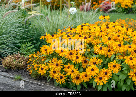 black-eyed susan, hairy coneflower, yellow daisy (Rudbeckia hirta 'Indian Summer', Rudbeckia hirta Indian Summer), blooming, cultivar Indian Summer, Germany, Thueringen - Stock Photo