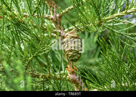giant sequoia, giant redwood (Sequoiadendron giganteum), cone on a branch, Germany, Baden-Wuerttemberg - Stock Photo