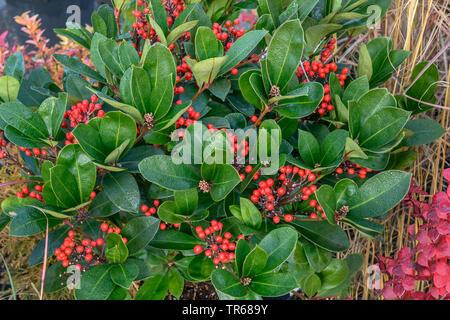 Japanese Skimmia (Skimmia japonica 'Obsession', Skimmia japonica Obsession), fruiting, cultivar Obsession - Stock Photo