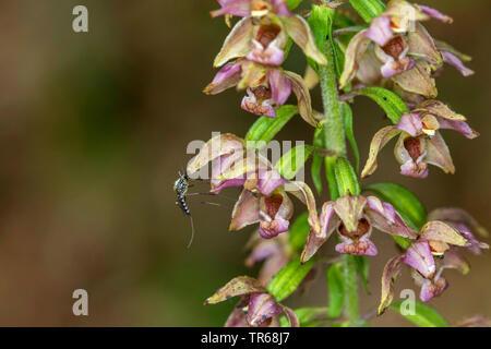 Broad-leaved helleborine, Eastern helleborine (Epipactis helleborine), inland floodwater mosquito, Aedes vexans, on a flower, Germany, Mecklenburg-Western Pomerania - Stock Photo