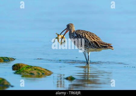 western curlew (Numenius arquata), standing in shallow water with preyed common beach crab in the bill, Germany, Mecklenburg-Western Pomerania - Stock Photo