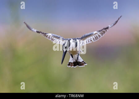 lesser pied kingfisher (Ceryle rudis), in hovering flight, front view, Israel - Stock Photo