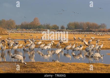 Common crane, Eurasian Crane (Grus grus), large flock in the resting area, Germany, Mecklenburg-Western Pomerania, Western Pomerania Lagoon Area National Park