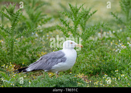Yellow-legged Gull (Larus michahellis, Larus cachinnans michahellis), on the ground, thistles in the background, Greece, Lesbos - Stock Photo