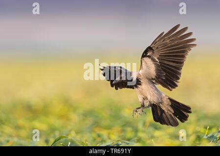 Hooded crow (Corvus corone cornix, Corvus cornix), landing on a field, Israel - Stock Photo
