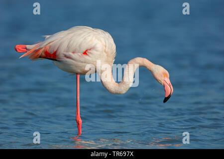 greater flamingo (Phoenicopterus roseus, Phoenicopterus ruber roseus), standing on one leg in shallow water, Greece, Lesbos - Stock Photo