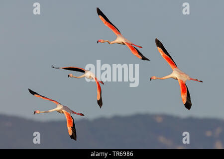 greater flamingo (Phoenicopterus roseus, Phoenicopterus ruber roseus), flying group, Greece, Greece, Lesbos - Stock Photo