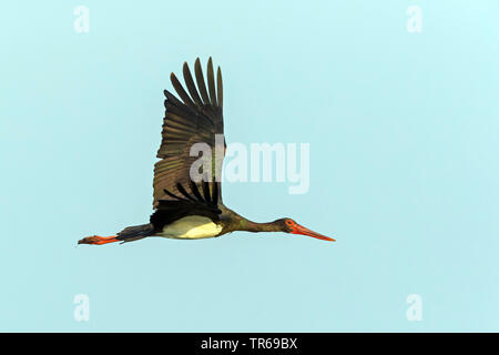 black stork (Ciconia nigra), flying, Israel - Stock Photo