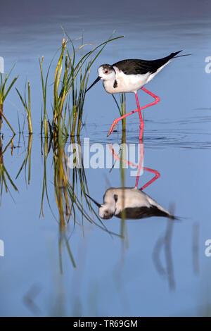 black-winged stilt (Himantopus himantopus), in water, Greece, Lesbos - Stock Photo