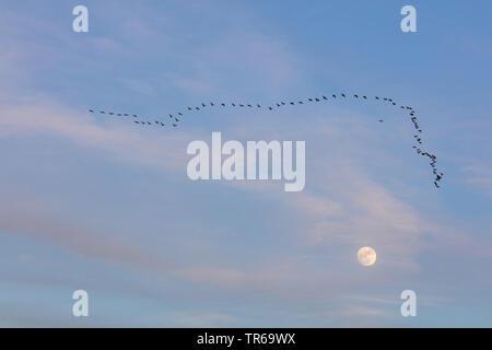 pygmy cormorant (Phalacrocorax pygmeus), flock with full moon, Israel - Stock Photo