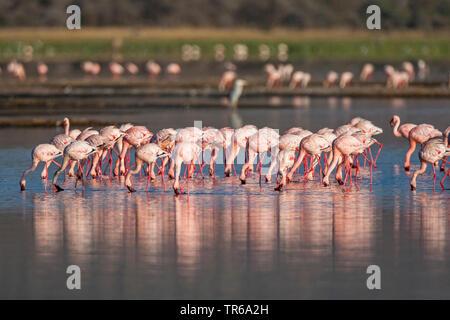 greater flamingo (Phoenicopterus roseus, Phoenicopterus ruber roseus), group feeding from the bottom of shallow water, Kenya, Lake Nakuru National Park - Stock Photo