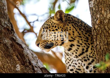 Leopard (Panthera pardus), Portraet in einer Astgabel, Seitenansicht, Kenia | leopard (Panthera pardus), portrait in a fork branch, side view, Kenya | - Stock Photo