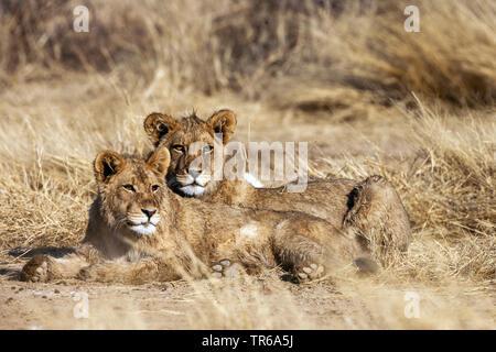 Kalahari Lion (Panthera leo vernayi, Panthera vernayi), two lions lying in savanna, South Africa, Kalahari, Kalahari Gemsbok National Park - Stock Photo