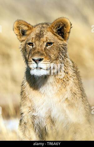 Kalahari Lion (Panthera leo vernayi, Panthera vernayi), lion pup, half-length portrait, South Africa, Kalahari Gemsbok National Park - Stock Photo