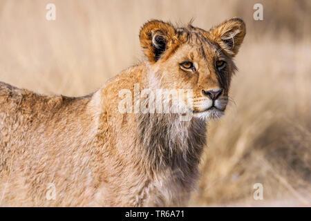 Kalahari Lion (Panthera leo vernayi, Panthera vernayi), lioness, portrait, South Africa, Kalahari Gemsbok National Park - Stock Photo