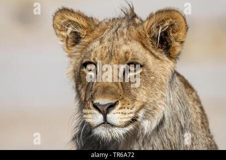 Kalahari Lion (Panthera leo vernayi, Panthera vernayi), lion pup, portrait, South Africa, Kalahari Gemsbok National Park - Stock Photo