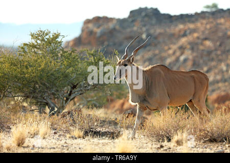 Common eland, Southern Eland (Taurotragus oryx, Tragelaphus oryx), male standing in the shrubland, side view, South Africa, Augrabies Falls National Park - Stock Photo