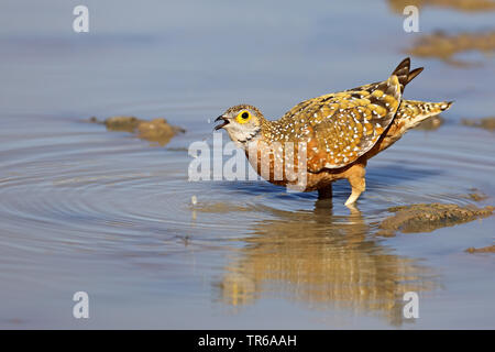 Variegated sandgrouse, Burchell's sandgrouse (Pterocles burchelli), male in water, drinking, South Africa, Kgalagadi Transfrontier National Park - Stock Photo