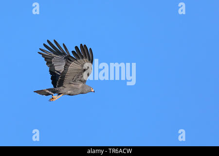 African harrier hawk (Polyboroides typus), flying, South Africa, Northern Cape, Namaqua National Park - Stock Photo