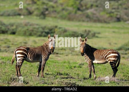 Cape Mountain Zebra, Mountain Zebra (Equus zebra zebra), two mountain zebras standing on grassland, side view, South Africa, Western Cape, West Coast National Park - Stock Photo