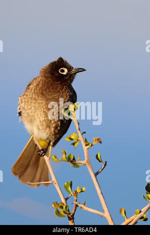Cape bulbul (Pycnonotus capensis), sitting on a bush, South Africa, Western Cape, West Coast National Park - Stock Photo