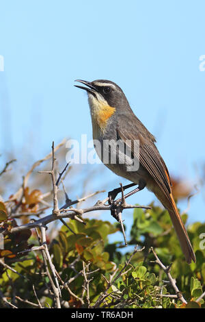 Cape robin chat (Cossypha caffra), singing on a bush, side view, South Africa, Western Cape, West Coast National Park - Stock Photo