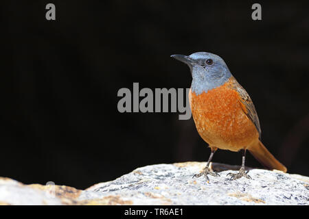 Cape rock thrush (Monticola rupestris), male on a rock, South Africa, Klaarstrom - Stock Photo