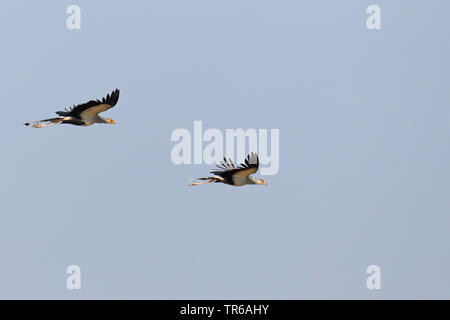 secretary bird, Sagittarius serpentarius (Sagittarius serpentarius), pair flying, South Africa, Kgalagadi Transfrontier National Park - Stock Photo