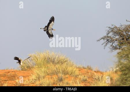 secretary bird, Sagittarius serpentarius (Sagittarius serpentarius), flying over a dune, South Africa, Kgalagadi Transfrontier National Park - Stock Photo