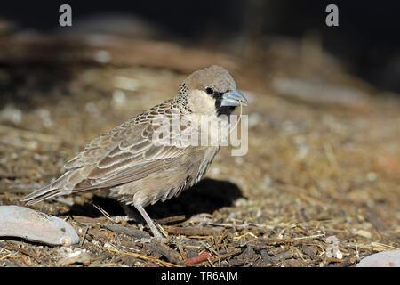 sociable weaver (Philetairus socius), with nesting material in the beak, South Africa, Kgalagadi Transfrontier National Park - Stock Photo