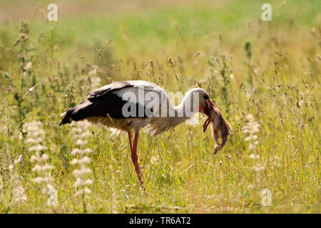 white stork (Ciconia ciconia), gulping a young hare, Germany - Stock Photo