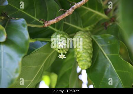 Indian Mulberry, Painkiller (Morinda citrifolia, Morinda bracteata), blooming, Philippines, Southern Leyte - Stock Photo