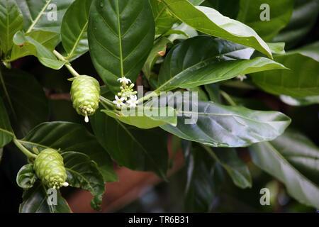 Indian Mulberry, Painkiller (Morinda citrifolia, Morinda bracteata), blooming, Philippines - Stock Photo