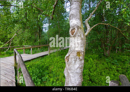 downy birch (Betula carpatica, Betula pubescens ssp. carpatica), at a boardwalk in the nature reserve Rotes Moor, Germany, Hesse, Rhoen - Stock Photo