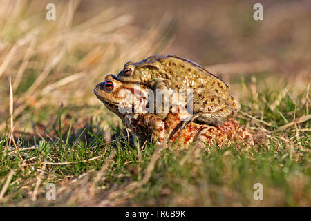 European common toad (Bufo bufo), on the way to the spawning water, Amplexus axillaris, Germany, Baden-Wuerttemberg - Stock Photo